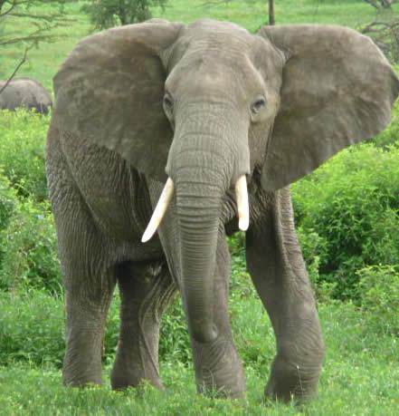 elephant-21